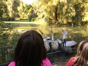 Pelikane im Zoo